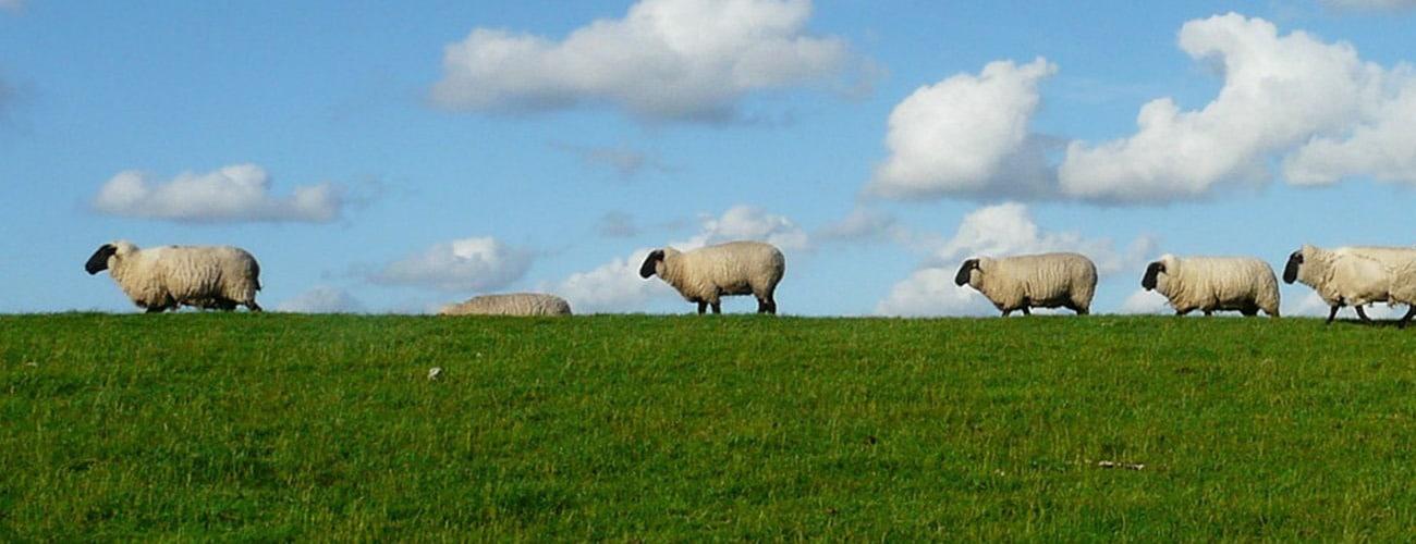 Leistungstraeger-und_Einwohnerbefragung Schafe auf Deich